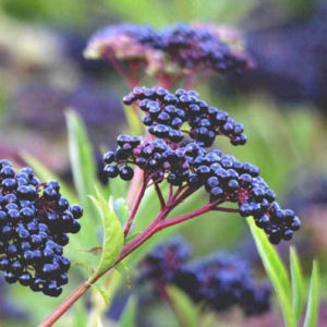 ELDERBERRY – SAMBUCUS